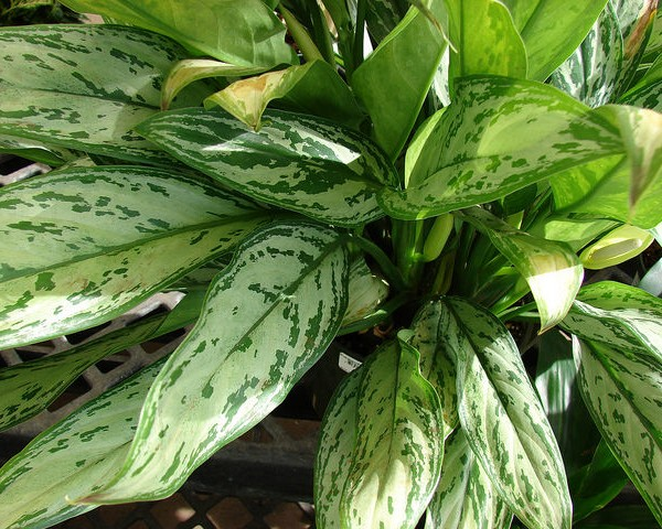 aglaonema por forest and kim starr