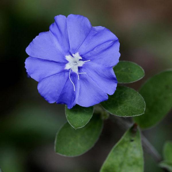 azulzinha