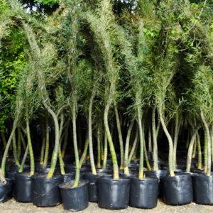 bambu mosso