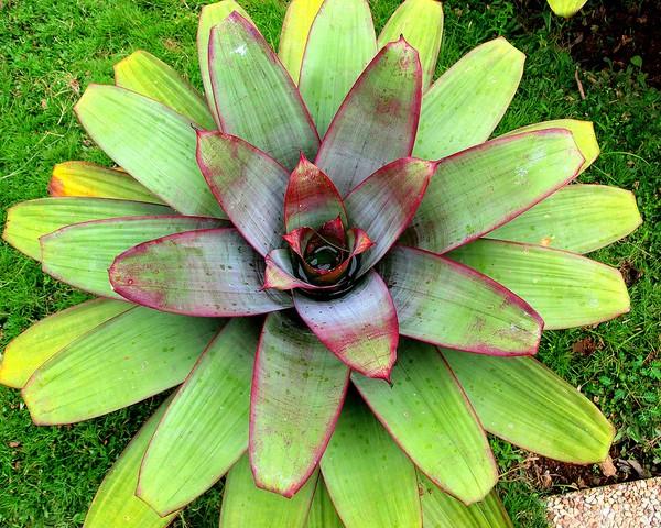 bromelia gigante por roberto verzo