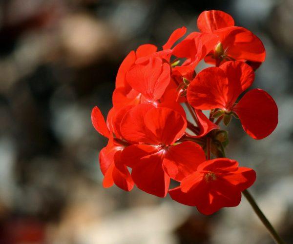 floracao-geranios