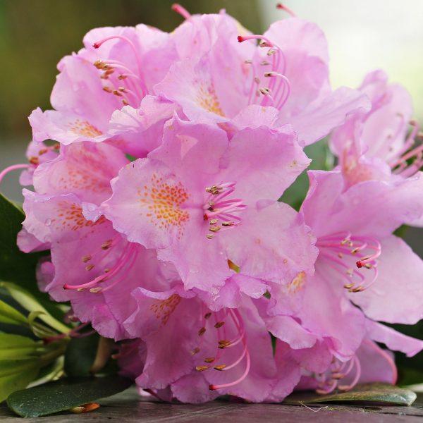 flores-azaleia