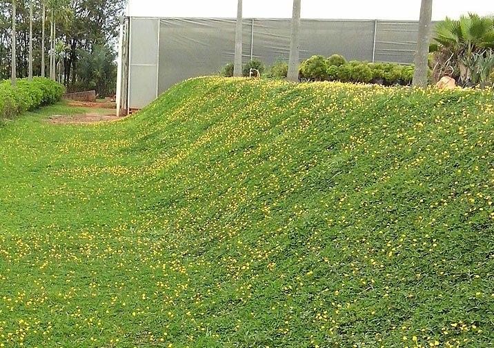 grama-amendoim