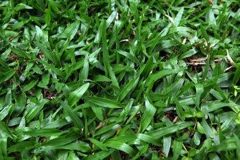 grama-catarina