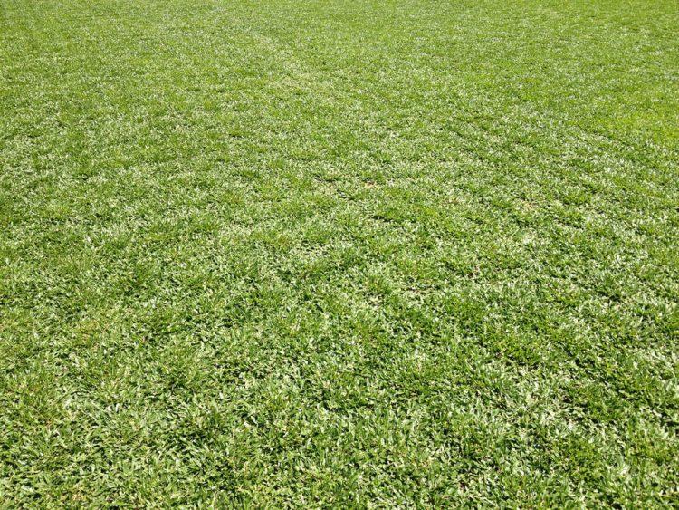 grama-sempre-verde