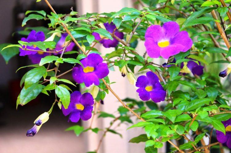 muda-de-tumbergia-arbustiva