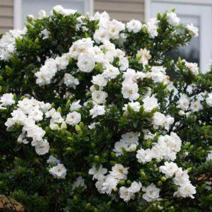muda_de_jasmim_do_cabo_gardenia_jasminoides
