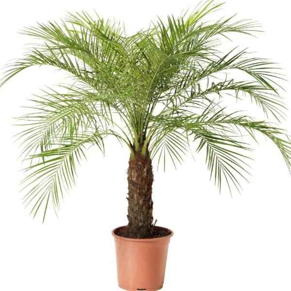 palmeira-fenix