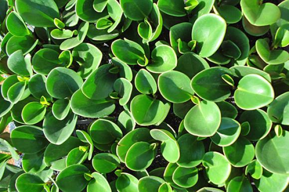 peperomia-verde
