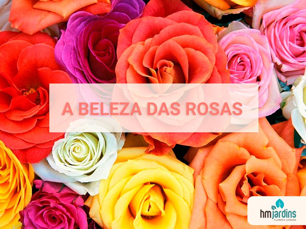 a beleza das rosas