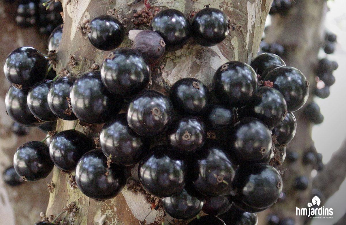 Populares Como plantar jabuticabeira em vaso | HM Jardins NP01