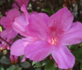 azaleia-cultivar-sacada
