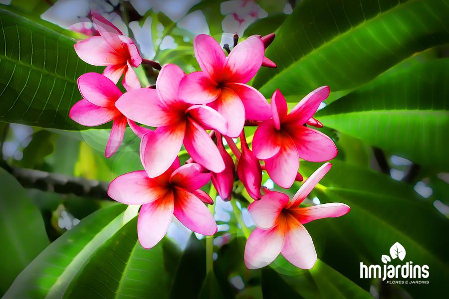 flores-fáceis-baratas-cultivar