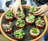 plantas-suculentas-vasos