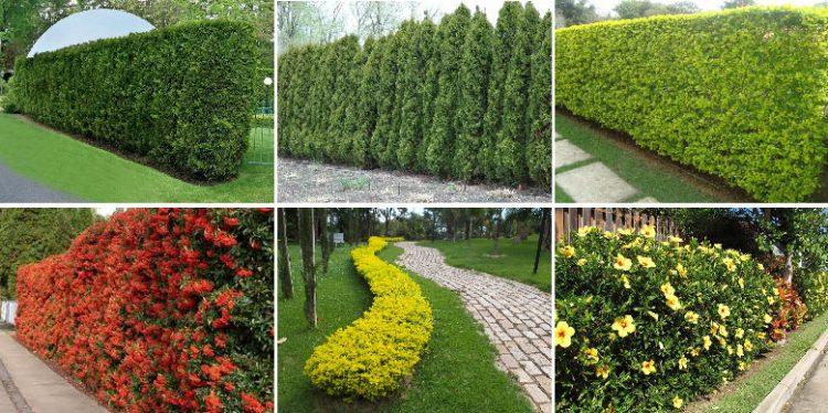 Cercas vivas podem ser verdes ou com flores
