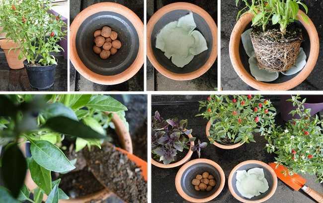 Modo de plantio de vasos de pimenta.