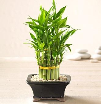 Bambus que trazem benefício para sua casa