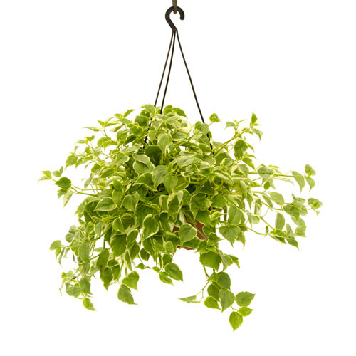 peperomia-variegata-pendente