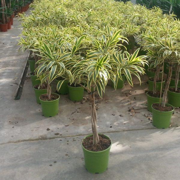 pleomele-variegata
