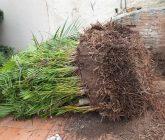 transplante-palmeira