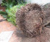 transplante-palmeira3