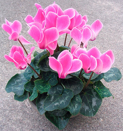 Flor-Ciclame