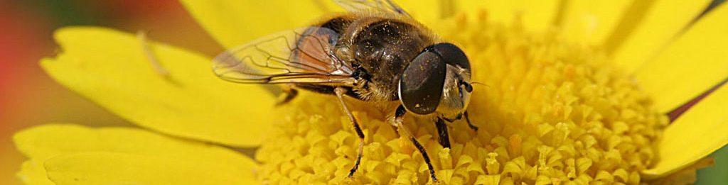 abelha inseto amigos da horta