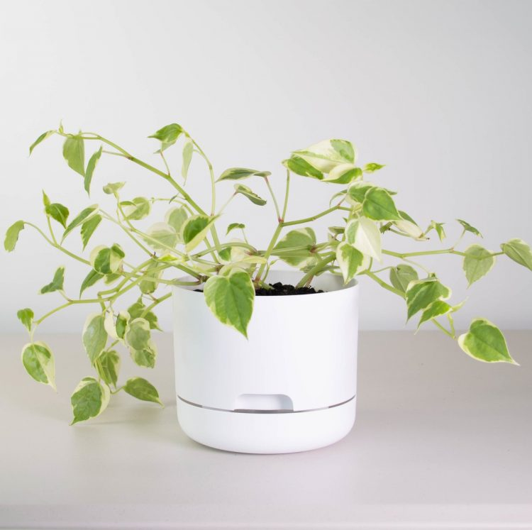 Peperomia-Scandens