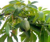 castanha-do-maranhao
