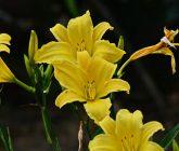 lirio-amarelo