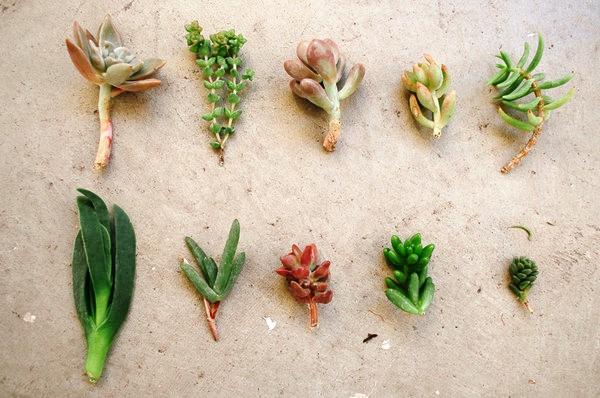 como-propagar-plantas-suculentas-3