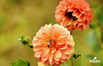 dalias-hm-jardins-blog